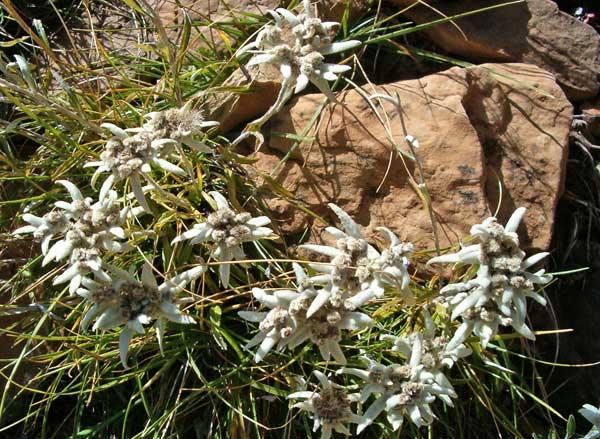 edelweiss2